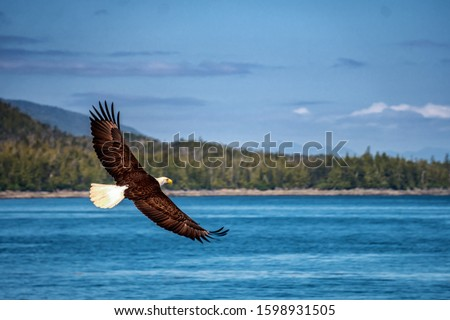Bald eagle is flying over the blue sea water. Beautiful forest on the background.