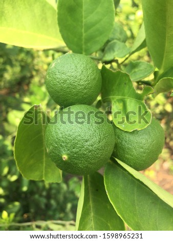 lime photo. I took this photo compilation I read the lemon orchard in Pasuruan Indonesia