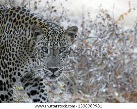 Sri lankan leopard pictures. Panthera pardus kotiya. Can be found in National parks around Sri lanka. There are other sub species over the world including other Asian countries and Africa.