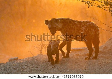 Adult hyena and cubs at den