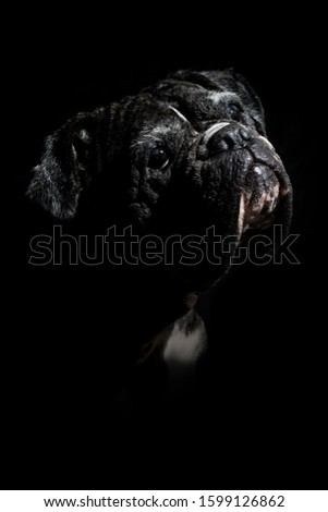 Low key portrait of a German boxer dog