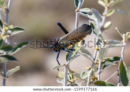 Rainbow Milkweed locust (Phymateus saxosus). This typ of Grasshoper is endemic in Madagascar. The picture was taken in the Isalo National Park.