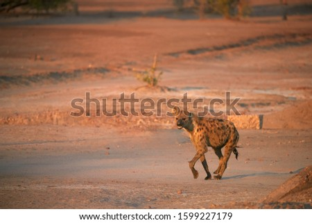 Spotted Hyena, Crocuta crocuta on a rocky plain lit by in early morning sun. Close up, low angle wildlife photography. African predator. Walking safari adventure. Plains of Mana Pools, Zimbabwe. #1599227179