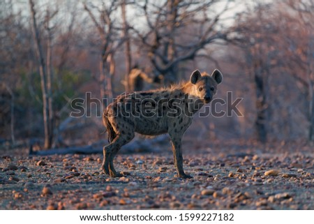 Spotted Hyena, Crocuta crocuta on a rocky plain lit by in early morning sun. Close up, low angle wildlife photography. African predator. Walking safari adventure. Plains of Mana Pools, Zimbabwe. #1599227182