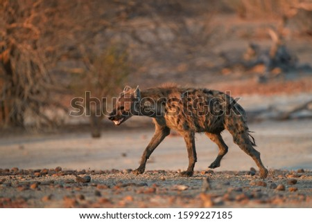 Spotted Hyena, Crocuta crocuta on a rocky plain lit by in early morning sun. Close up, low angle wildlife photography. African predator. Walking safari adventure. Plains of Mana Pools, Zimbabwe. #1599227185