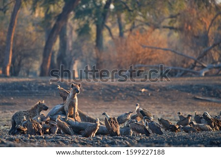 Group of african scavengers. A Spotted Hyenas, Crocuta crocuta on a rocky plain lit by the morning sun feeds on an elephant carcass. Walking safari adventures. Plains of Mana Pools, Zimbabwe. #1599227188