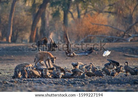Group of african scavengers. A Spotted Hyenas, Crocuta crocuta on a rocky plain lit by the morning sun feeds on an elephant carcass. Walking safari adventures. Plains of Mana Pools, Zimbabwe. #1599227194