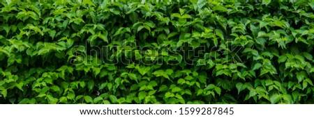 Shrubs of green shrub in the park. Urban environment. Web banner. #1599287845