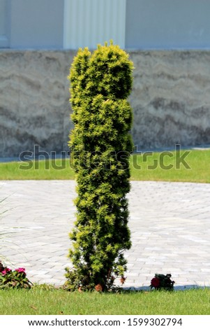 English yew or Taxus baccata or Yew or Common yew or European yew evergreen ornamental tree with flat dark green broad spirally arranged leaves growing in tall column like shape next to stone tiles #1599302794