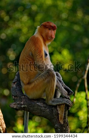 Malaysia. The long-nosed monkey or kahau — a species of primates from the subfamily of thin-bodied monkeys in the family of monkeys. Distributed exclusively on the island of Borneo #1599344434