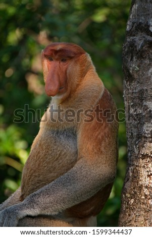 Malaysia. The long-nosed monkey or kahau — a species of primates from the subfamily of thin-bodied monkeys in the family of monkeys. Distributed exclusively on the island of Borneo #1599344437