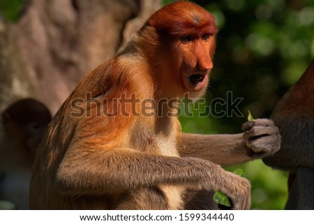 Malaysia. The long-nosed monkey or kahau — a species of primates from the subfamily of thin-bodied monkeys in the family of monkeys. Distributed exclusively on the island of Borneo #1599344440