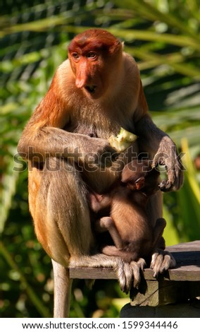 Malaysia. The long-nosed monkey or kahau — a species of primates from the subfamily of thin-bodied monkeys in the family of monkeys. Distributed exclusively on the island of Borneo #1599344446