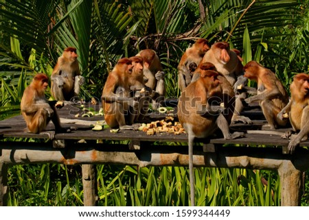 Malaysia. The long-nosed monkey or kahau — a species of primates from the subfamily of thin-bodied monkeys in the family of monkeys. Distributed exclusively on the island of Borneo #1599344449