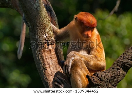 Malaysia. The long-nosed monkey or kahau — a species of primates from the subfamily of thin-bodied monkeys in the family of monkeys. Distributed exclusively on the island of Borneo #1599344452