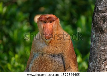 Malaysia. The long-nosed monkey or kahau — a species of primates from the subfamily of thin-bodied monkeys in the family of monkeys. Distributed exclusively on the island of Borneo #1599344455
