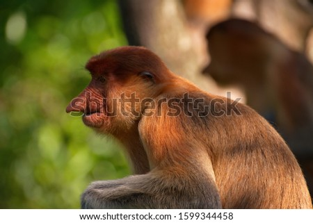 Malaysia. The long-nosed monkey or kahau — a species of primates from the subfamily of thin-bodied monkeys in the family of monkeys. Distributed exclusively on the island of Borneo #1599344458