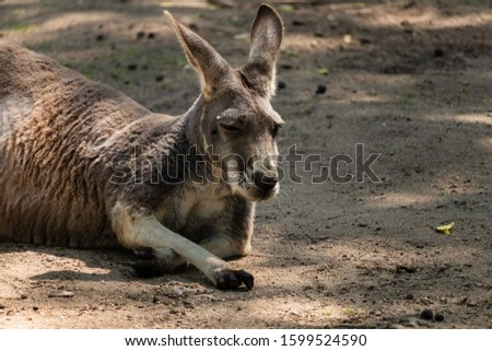 Kangaroo resting in semi-shade and one of the claw rests on the ground #1599524590