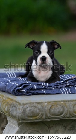 Robie the Boston Terrier Puppy #1599567229