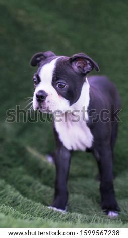 Robie the Boston Terrier Puppy #1599567238