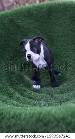 Robie the Boston Terrier Puppy #1599567241