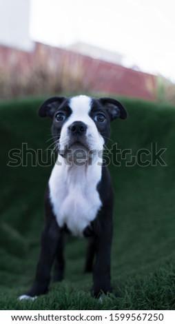Robie the Boston Terrier Puppy #1599567250