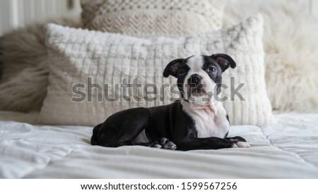 Robie the Boston Terrier Puppy #1599567256