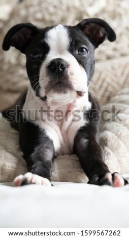 Robie the Boston Terrier Puppy #1599567262