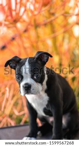 Robie the Boston Terrier Puppy #1599567268