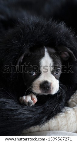Robie the Boston Terrier Puppy #1599567271