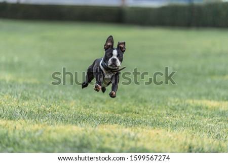 Robie the Boston Terrier Puppy #1599567274