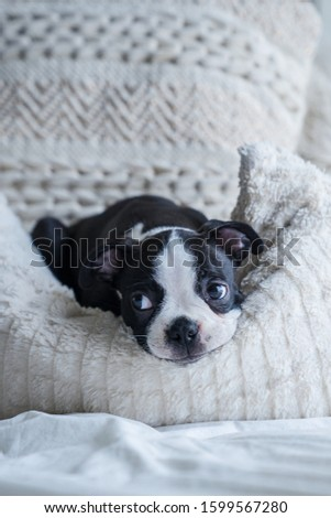 Robie the Boston Terrier Puppy #1599567280
