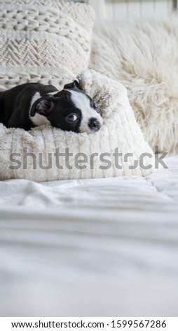 Robie the Boston Terrier Puppy #1599567286