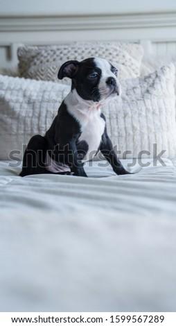 Robie the Boston Terrier Puppy #1599567289