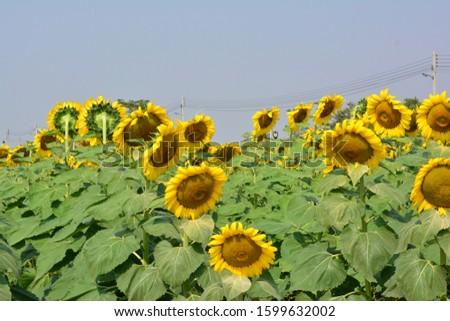 Sunflower natural background. Sunflower blooming. sunflower, sunflower garden in the reservir, flower. #1599632002