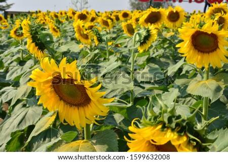 Sunflower natural background. Sunflower blooming. sunflower, sunflower garden in the reservir, flower. #1599632008