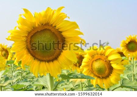 Sunflower natural background. Sunflower blooming. sunflower, sunflower garden in the reservir, flower. #1599632014