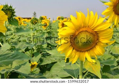 Sunflower natural background. Sunflower blooming. sunflower, sunflower garden in the reservir, flower. #1599632017