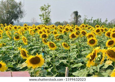 Sunflower natural background. Sunflower blooming. sunflower, sunflower garden in the reservir, flower. #1599632023