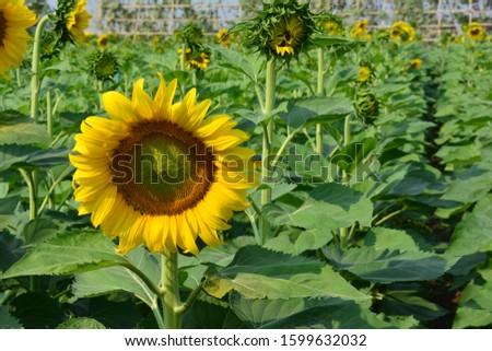 Sunflower natural background. Sunflower blooming. sunflower, sunflower garden in the reservir, flower. #1599632032