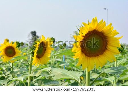 Sunflower natural background. Sunflower blooming. sunflower, sunflower garden in the reservir, flower. #1599632035