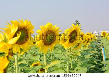 Sunflower natural background. Sunflower blooming. sunflower, sunflower garden in the reservir, flower. #1599632047