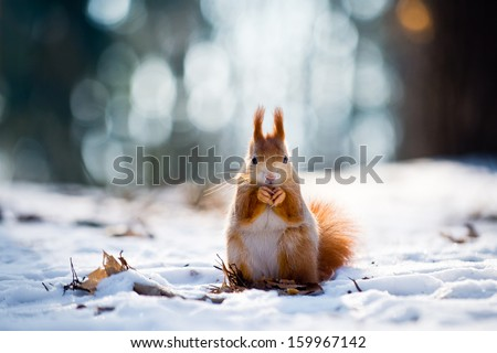Cute red squirrel eats a nut in winter scene with nice blurred forest in the background Royalty-Free Stock Photo #159967142