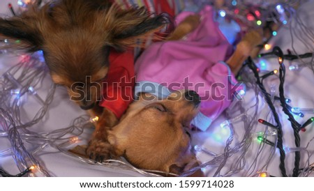 The Toy Terrier is a yellow New Year's dog. Two dogs lie ridiculously and fall asleep. They are surrounded by garlands and are dressed in children's sliders. #1599714028