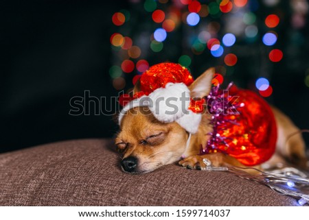 The Toy Terrier is a yellow New Year's dog. A funny dog in a Christmas cap lies and looks around. He falls asleep and wakes up. A background of a fur-tree with shone by lights. #1599714037