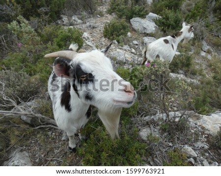 Photo of goats in the scrubland of Provence. This picture of animals was taken on a hill in the Alpilles.