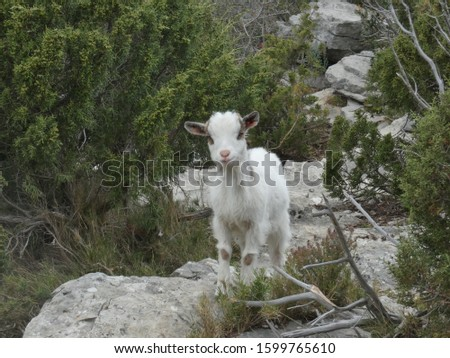 Photo of a young goat in the scrubland of Provence. This animal picture was taken on a hill in the Alpilles.