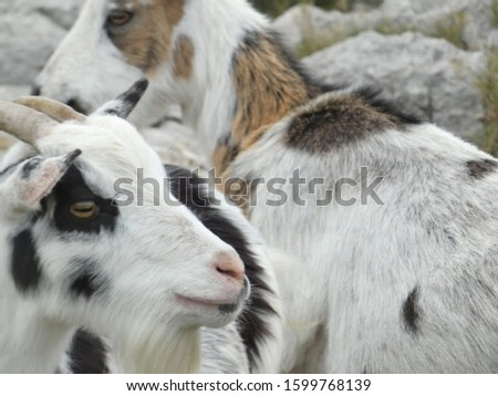Photo of goats in their natural environment. This picture of animals was taken on a hill in the Alpilles in Provence.