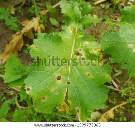 Symptoms of alternaria blight in Mustard crop #1599773065