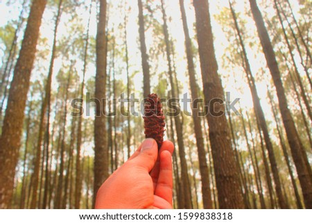 brown pine cone, pine seed on pine forest  #1599838318